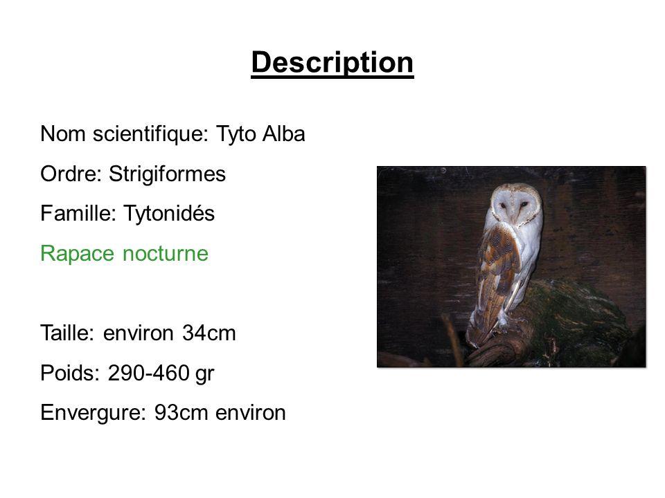 Description Nom scientifique: Tyto Alba Ordre: Strigiformes