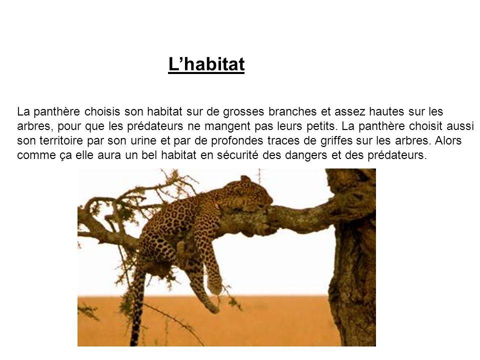 L'habitat La panthère choisis son habitat sur de grosses branches et assez hautes sur les.