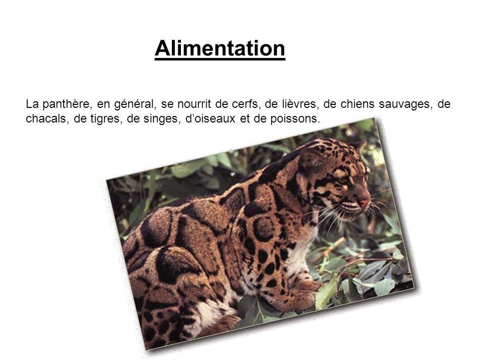 Alimentation La panthère, en général, se nourrit de cerfs, de lièvres, de chiens sauvages, de.