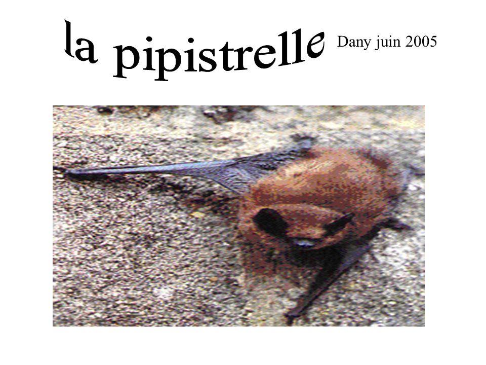 la pipistrelle Dany juin 2005