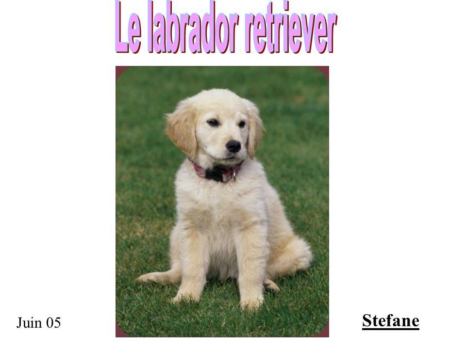 Le labrador retriever Stefane Juin 05