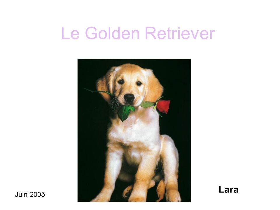 Le Golden Retriever Lara Juin 2005