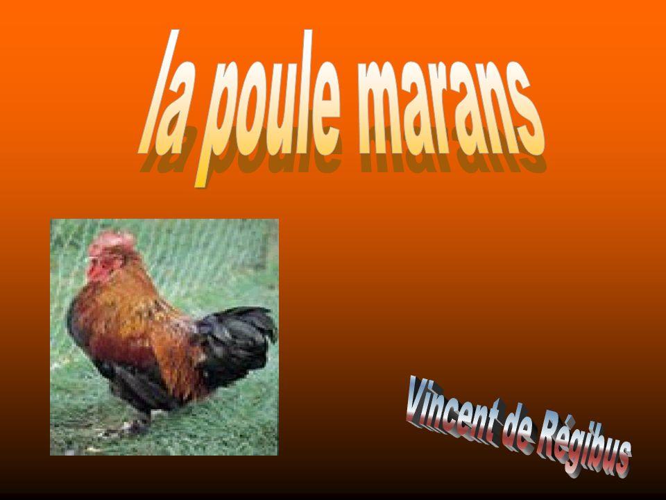 la poule marans Vincent de Régibus