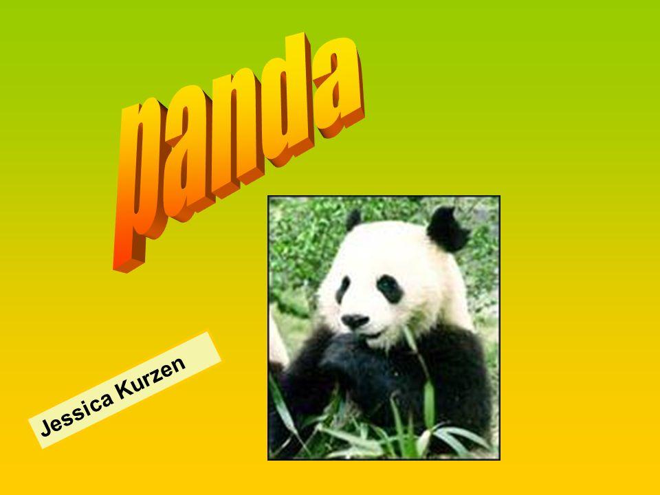 panda Jessica Kurzen