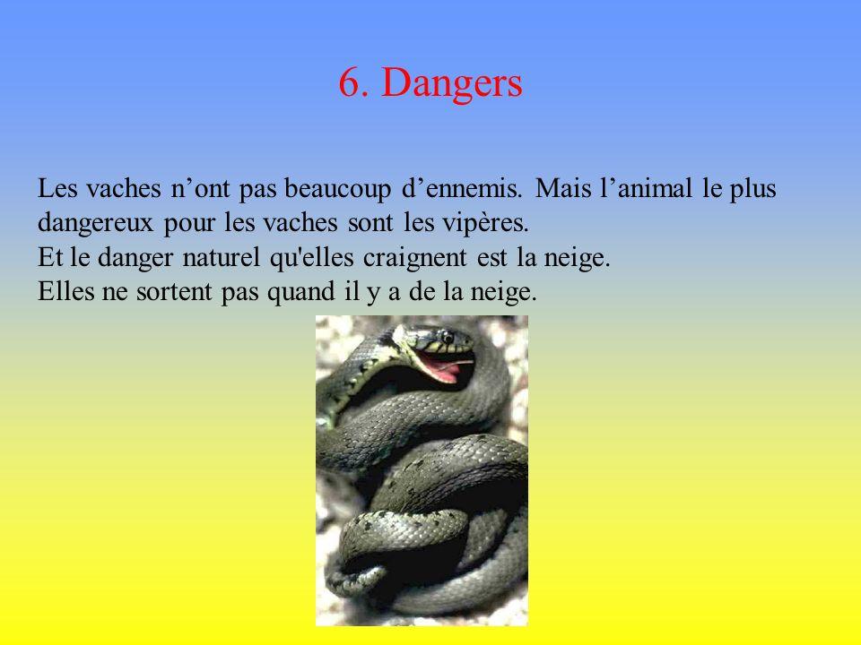 6. Dangers Les vaches n'ont pas beaucoup d'ennemis. Mais l'animal le plus dangereux pour les vaches sont les vipères.