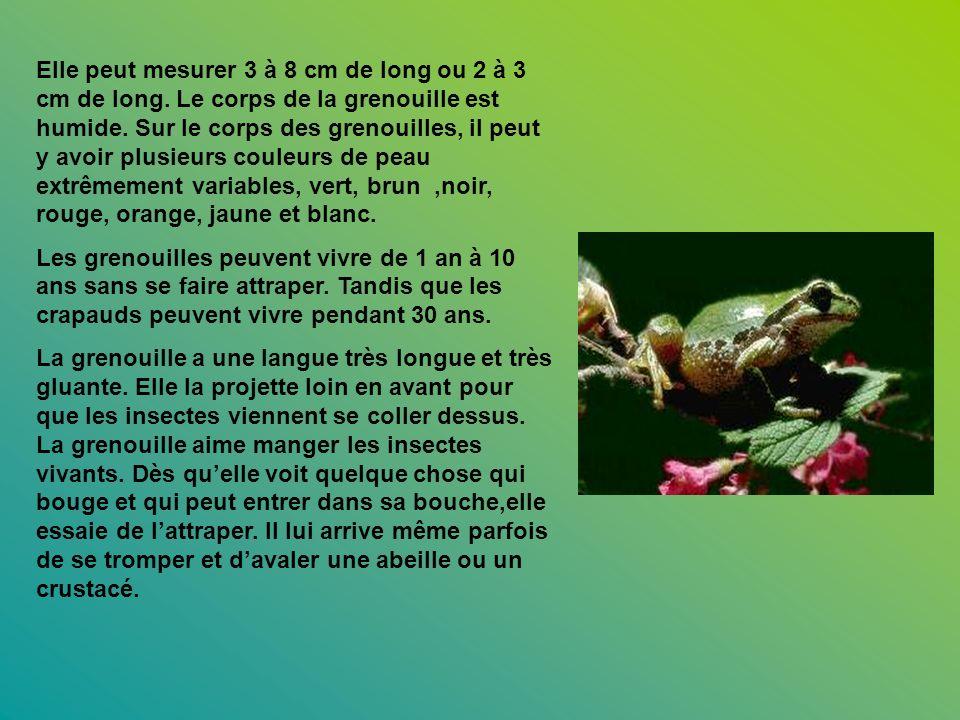 Elle peut mesurer 3 à 8 cm de long ou 2 à 3 cm de long