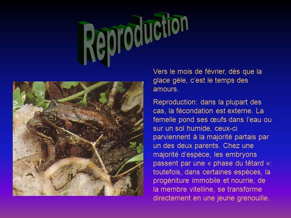 Reproduction Vers le mois de février, dès que la glace gèle, c'est le temps des amours.