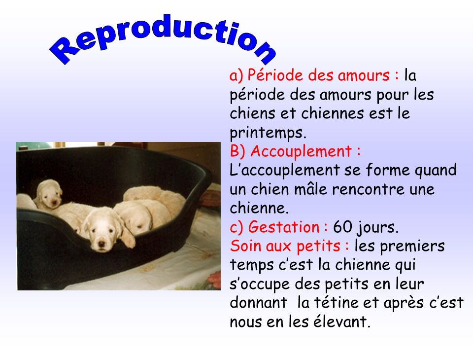 Reproduction a) Période des amours : la période des amours pour les chiens et chiennes est le printemps.