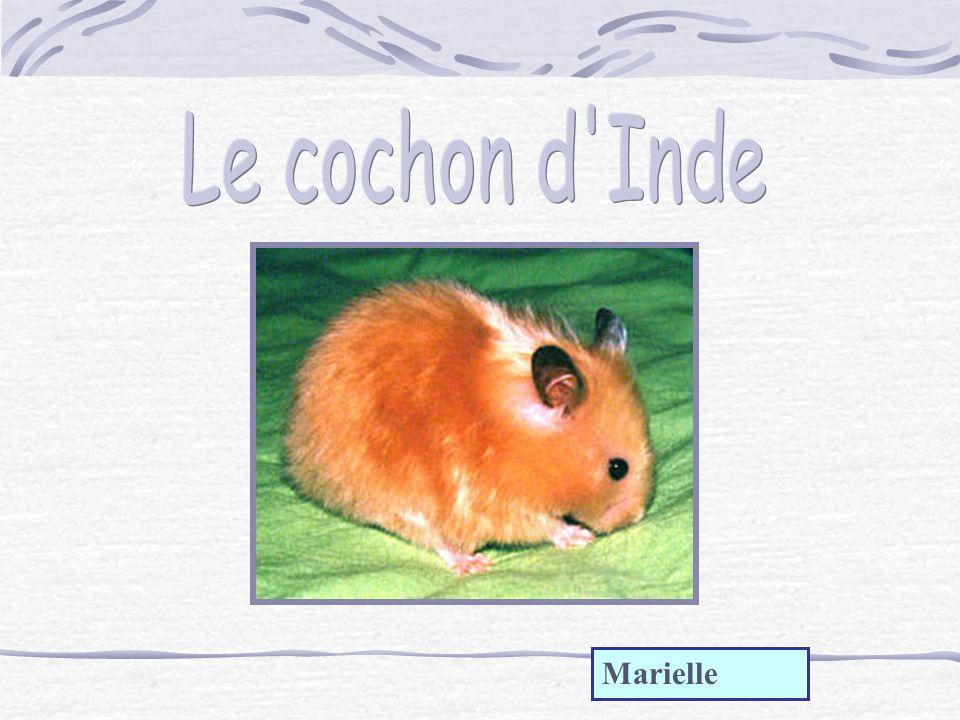 Le cochon d Inde Marielle