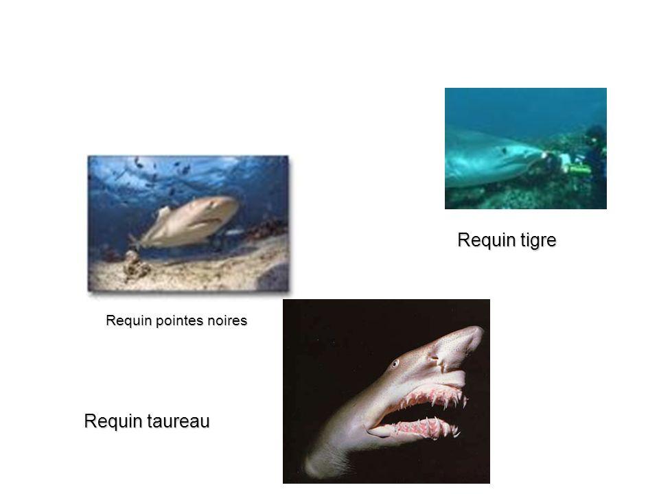 Requin tigre Requin pointes noires Requin taureau