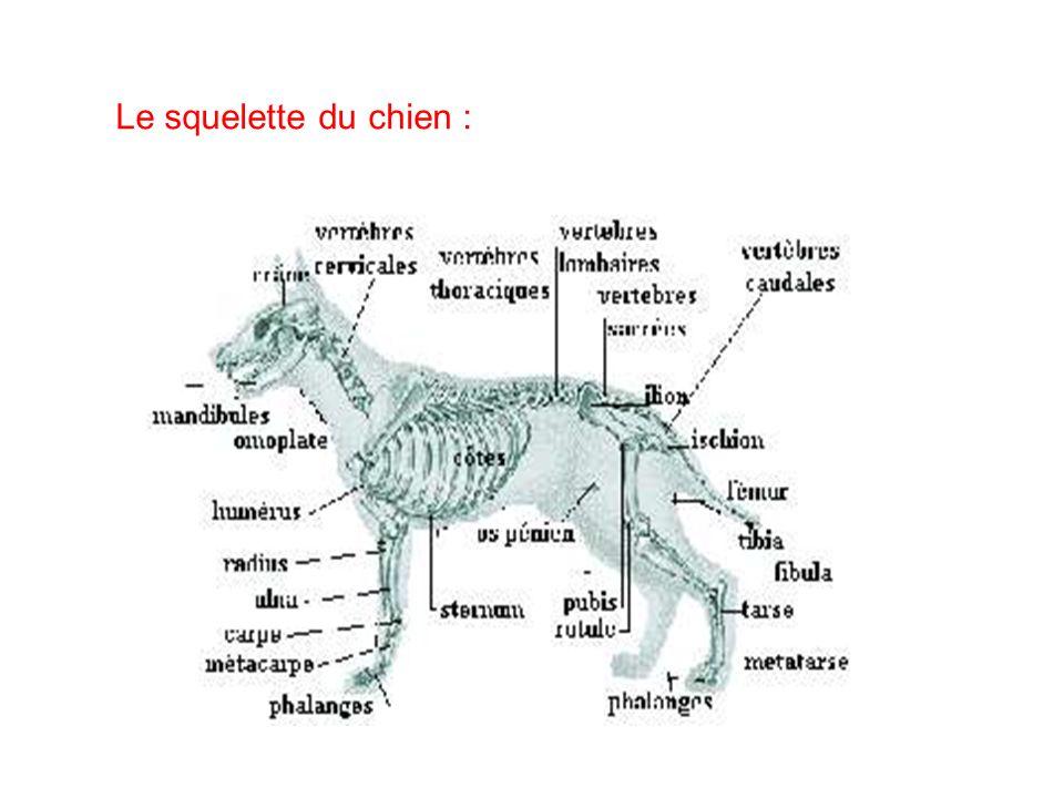 Le squelette du chien :