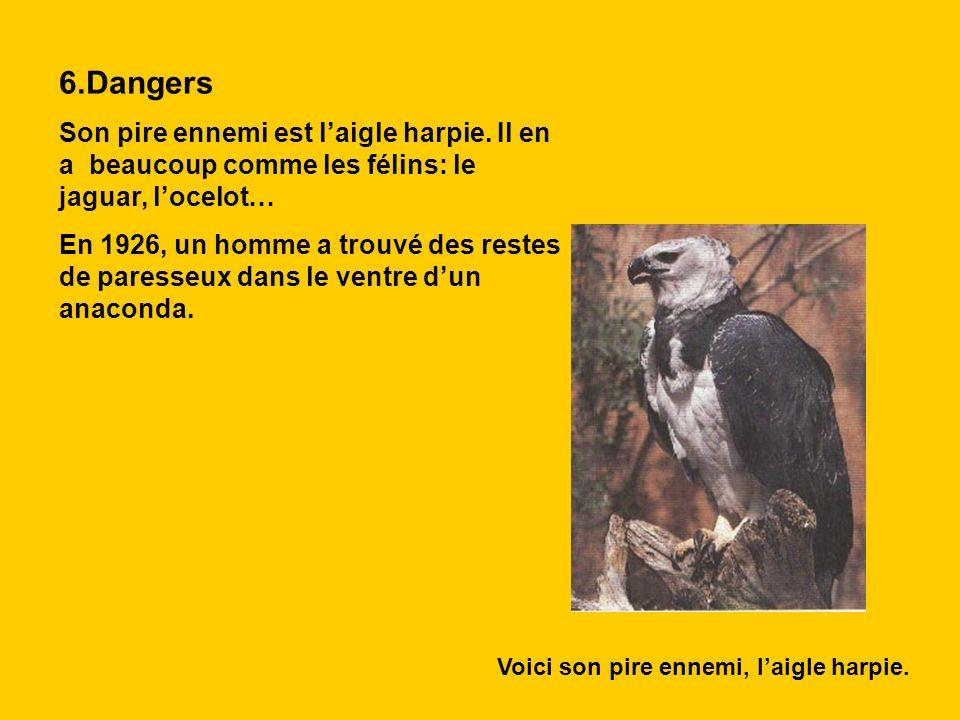 6.Dangers Son pire ennemi est l'aigle harpie. Il en a beaucoup comme les félins: le jaguar, l'ocelot…