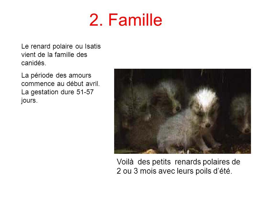 2. Famille Le renard polaire ou Isatis vient de la famille des canidés.