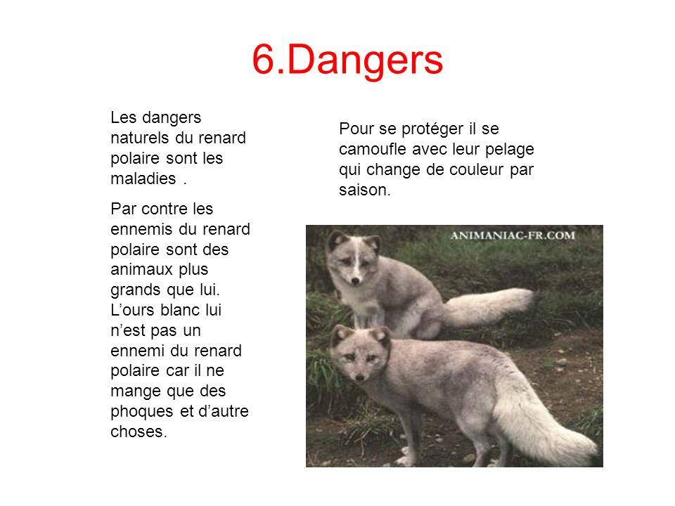 6.Dangers Les dangers naturels du renard polaire sont les maladies .