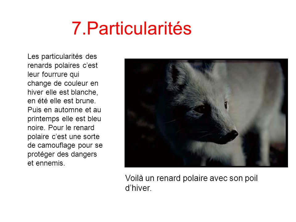7.Particularités Voilà un renard polaire avec son poil d'hiver.