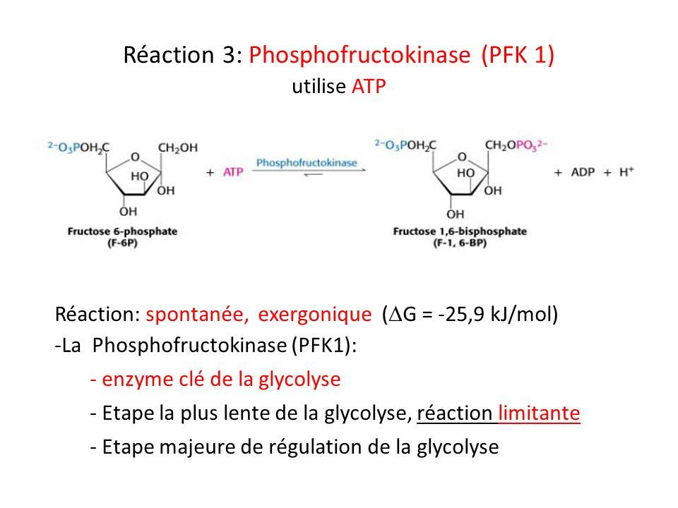 Réaction 3: Phosphofructokinase (PFK 1) utilise ATP