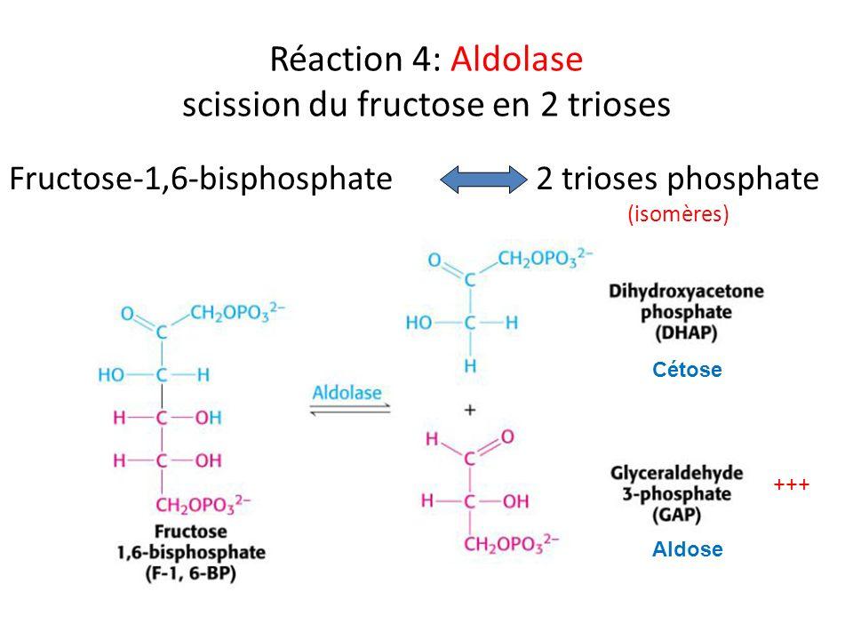 Réaction 4: Aldolase scission du fructose en 2 trioses