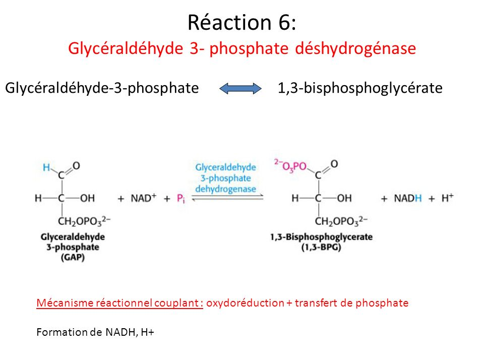 Réaction 6: Glycéraldéhyde 3- phosphate déshydrogénase