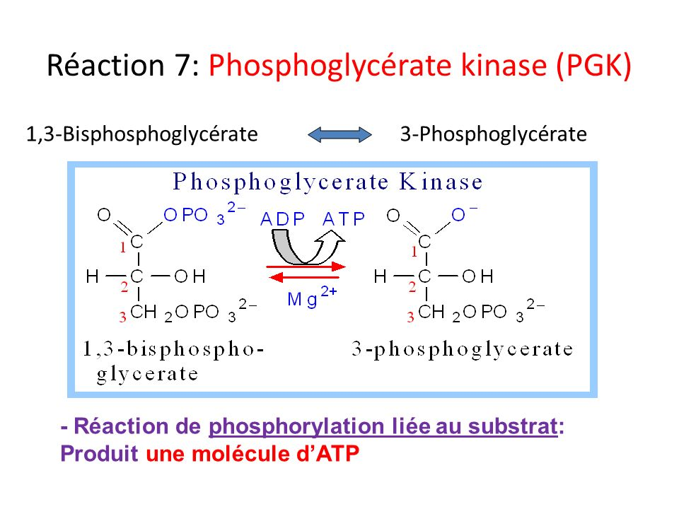Réaction 7: Phosphoglycérate kinase (PGK)