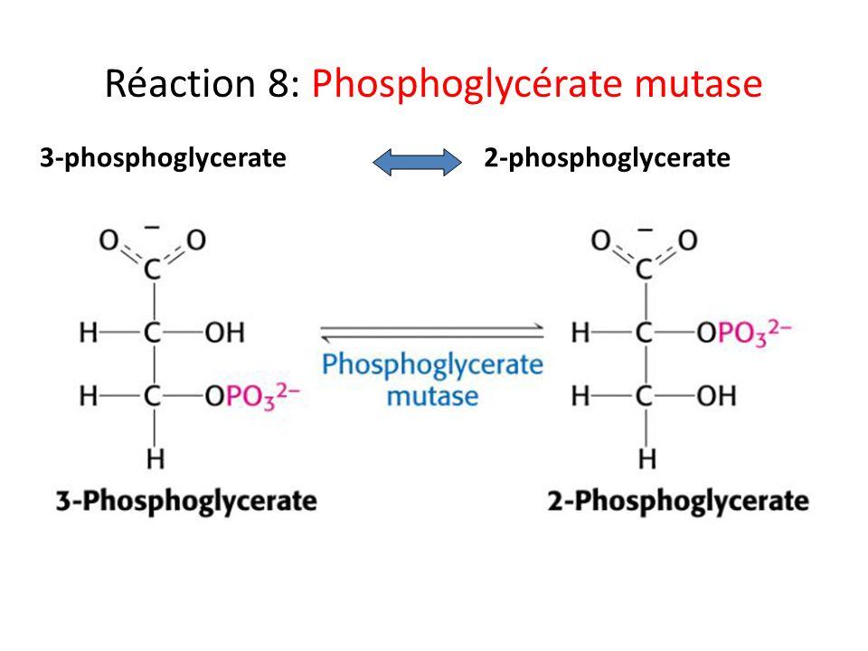 Réaction 8: Phosphoglycérate mutase