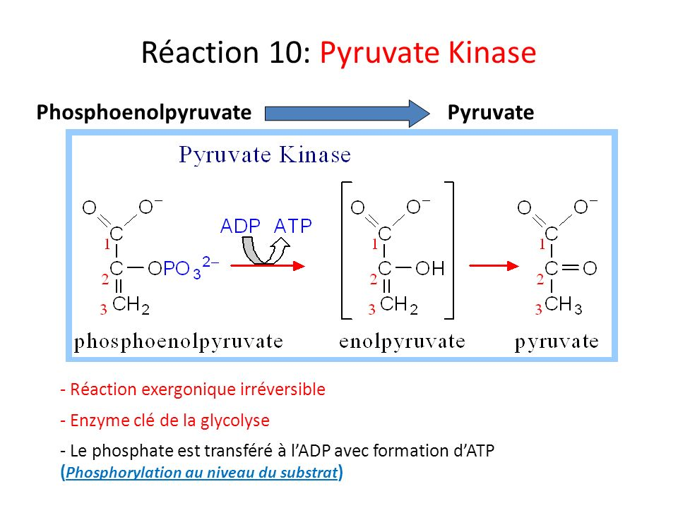 Réaction 10: Pyruvate Kinase