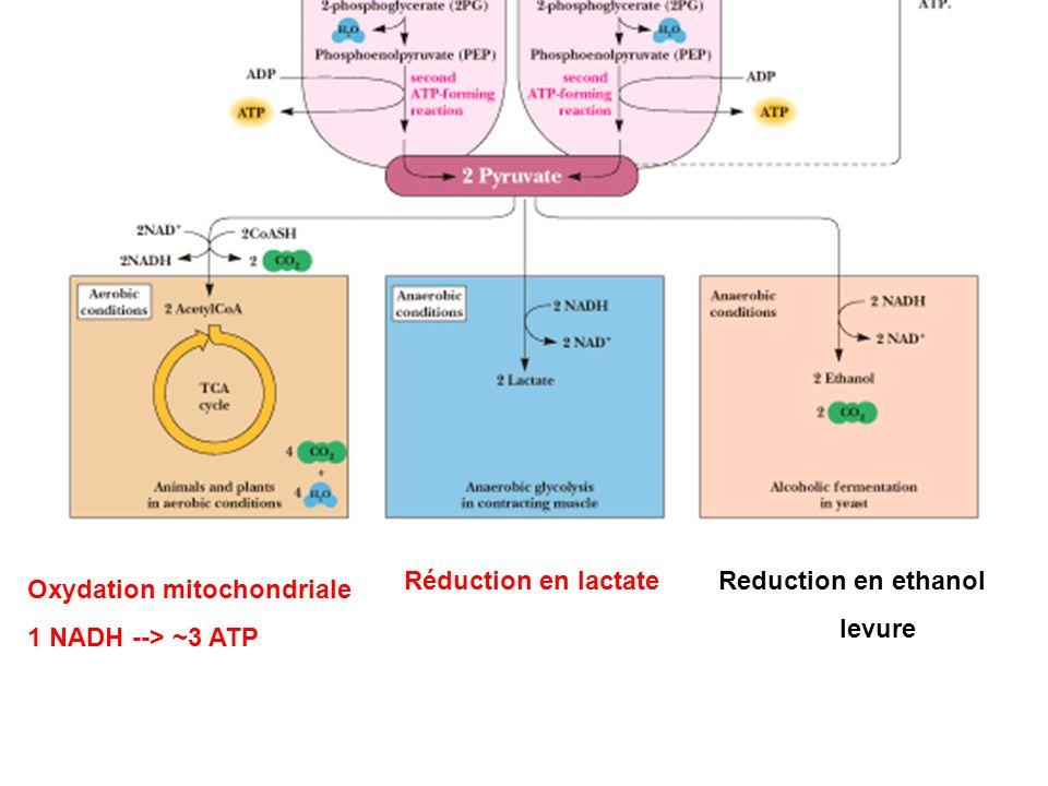 Réduction en lactate Reduction en ethanol levure Oxydation mitochondriale 1 NADH --> ~3 ATP