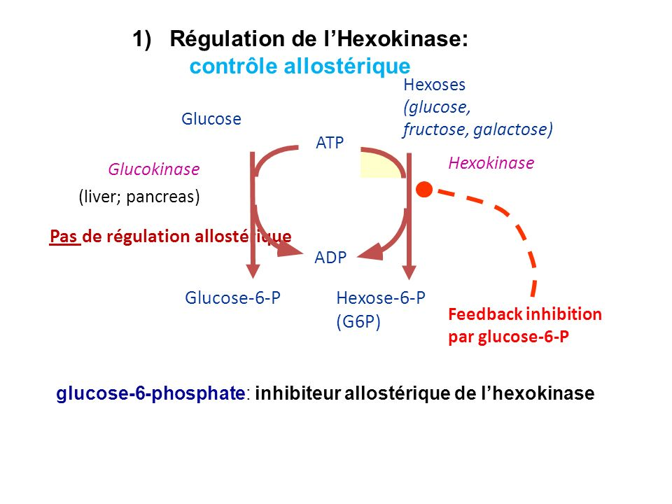Régulation de l'Hexokinase: contrôle allostérique