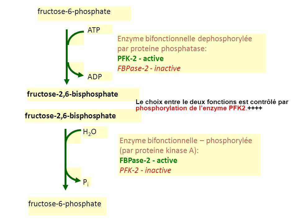 Enzyme bifonctionnelle dephosphorylée par proteine phosphatase: