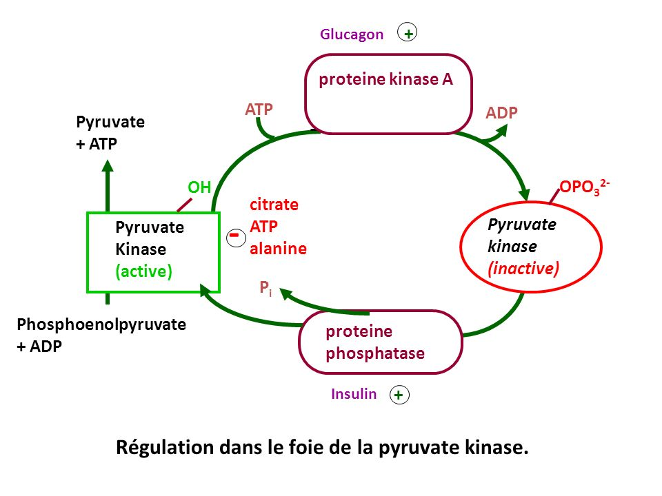 Régulation dans le foie de la pyruvate kinase.