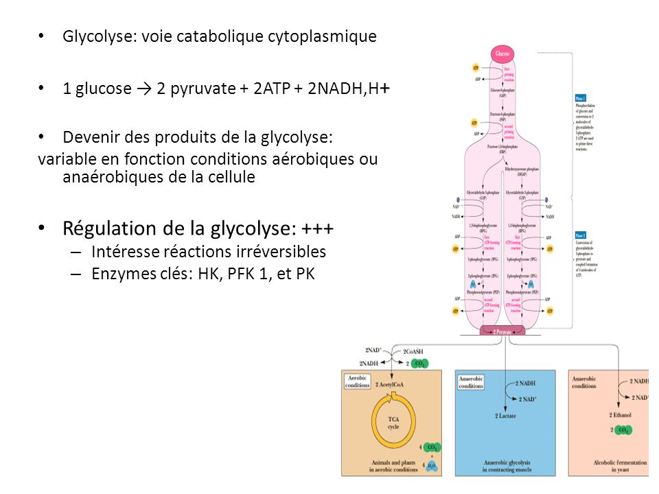 Régulation de la glycolyse: +++