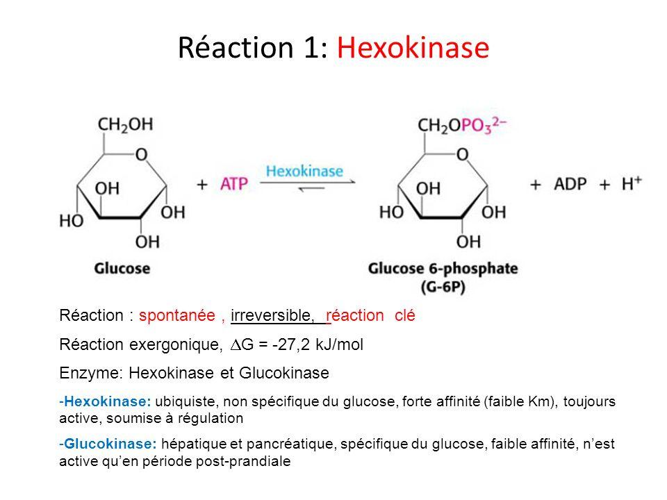 Réaction 1: HexokinaseRéaction : spontanée , irreversible, réaction clé. Réaction exergonique, DG = -27,2 kJ/mol.