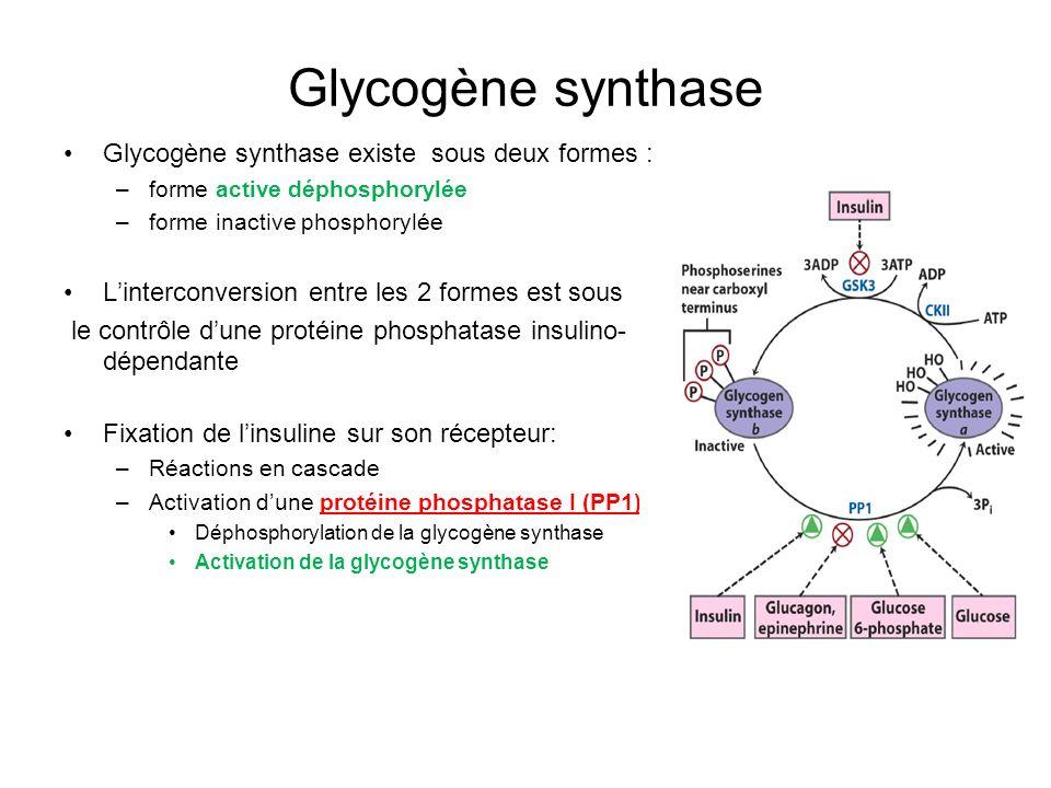 Glycogène synthase Glycogène synthase existe sous deux formes :