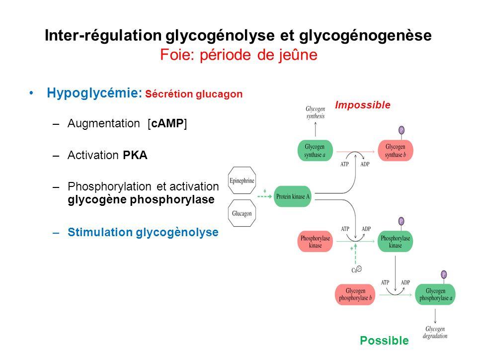Inter-régulation glycogénolyse et glycogénogenèse Foie: période de jeûne