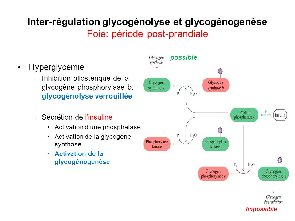 Inter-régulation glycogénolyse et glycogénogenèse Foie: période post-prandiale