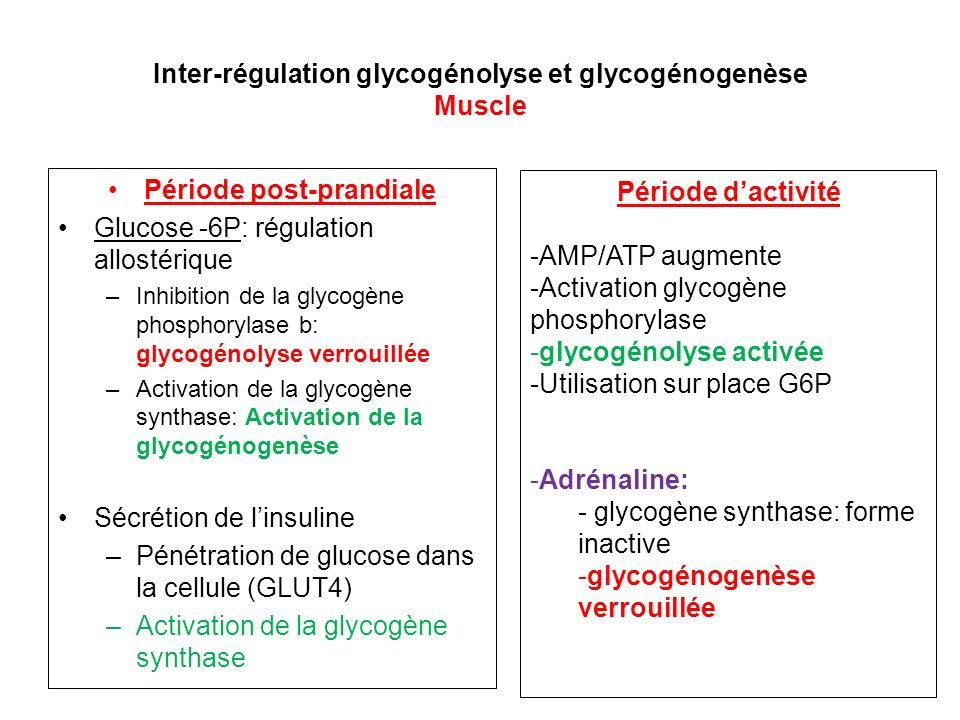 Inter-régulation glycogénolyse et glycogénogenèse Muscle