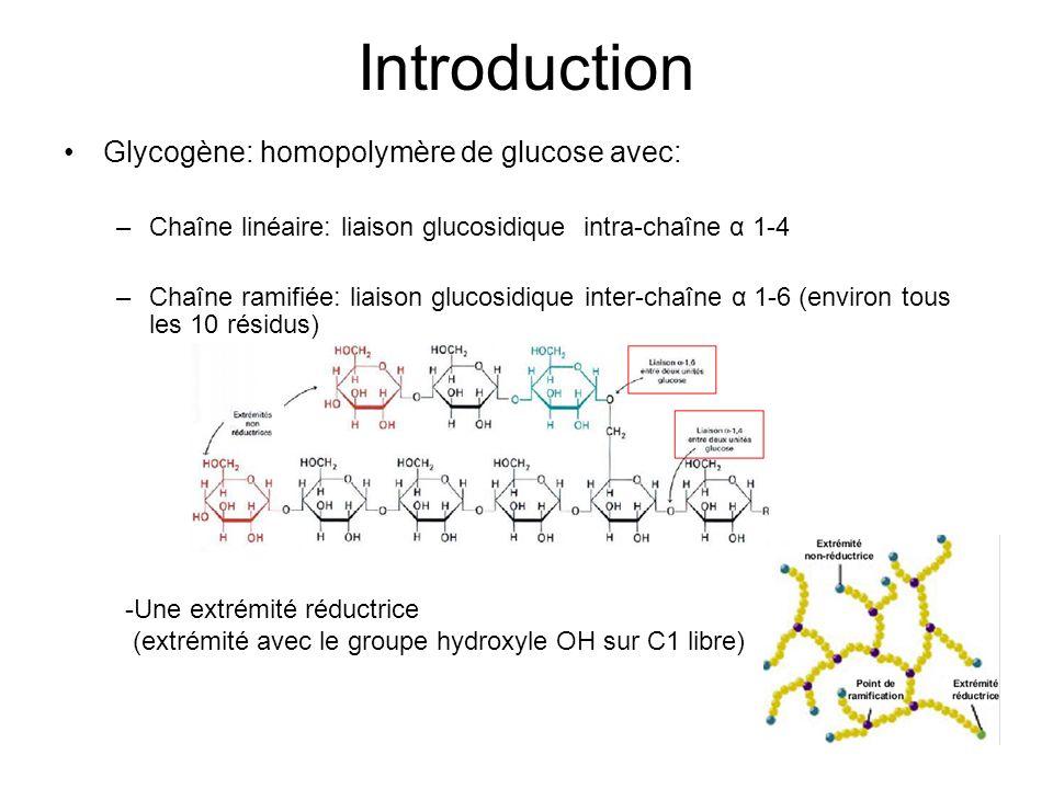Introduction Glycogène: homopolymère de glucose avec: