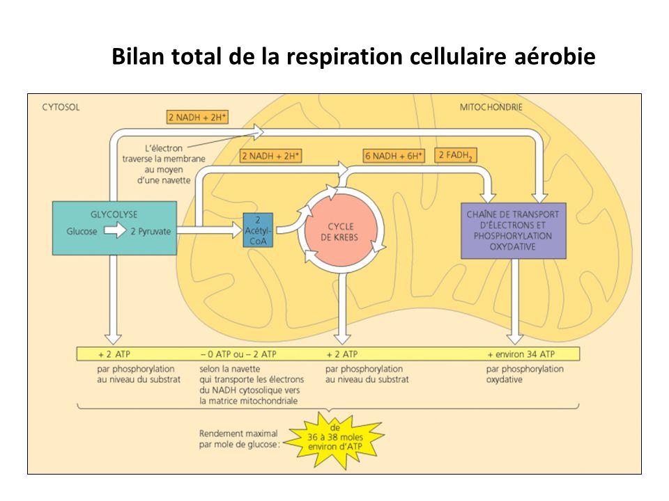 Bilan total de la respiration cellulaire aérobie