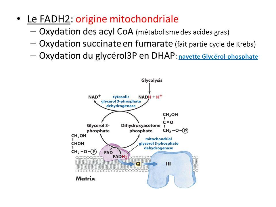 Le FADH2: origine mitochondriale