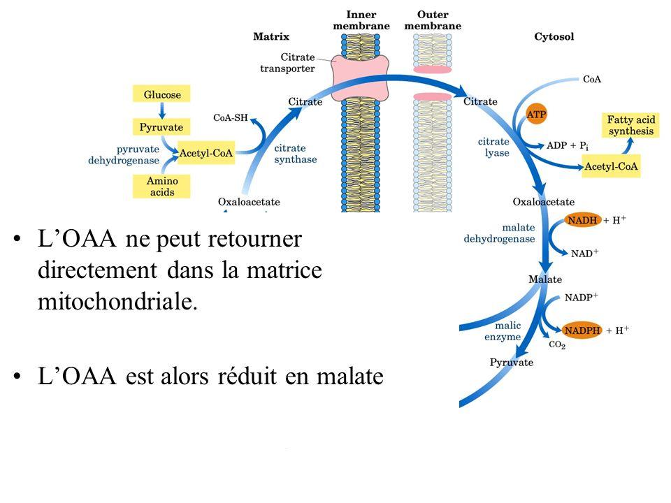 L'OAA ne peut retourner directement dans la matrice mitochondriale.
