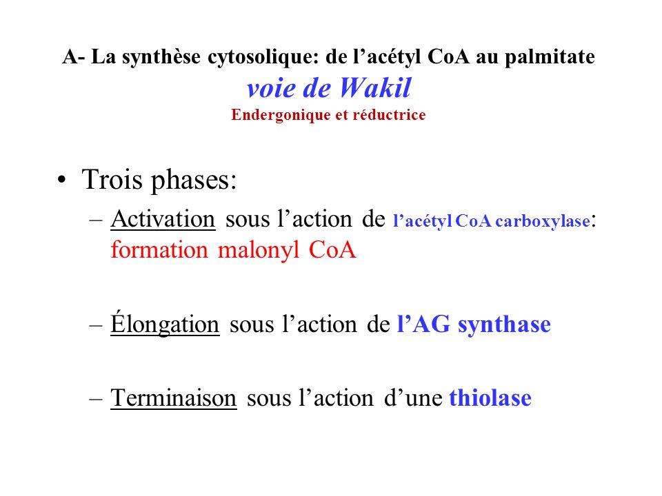 A- La synthèse cytosolique: de l'acétyl CoA au palmitate voie de Wakil Endergonique et réductrice