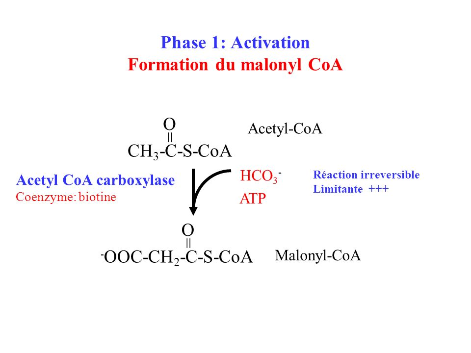 Phase 1: Activation Formation du malonyl CoA