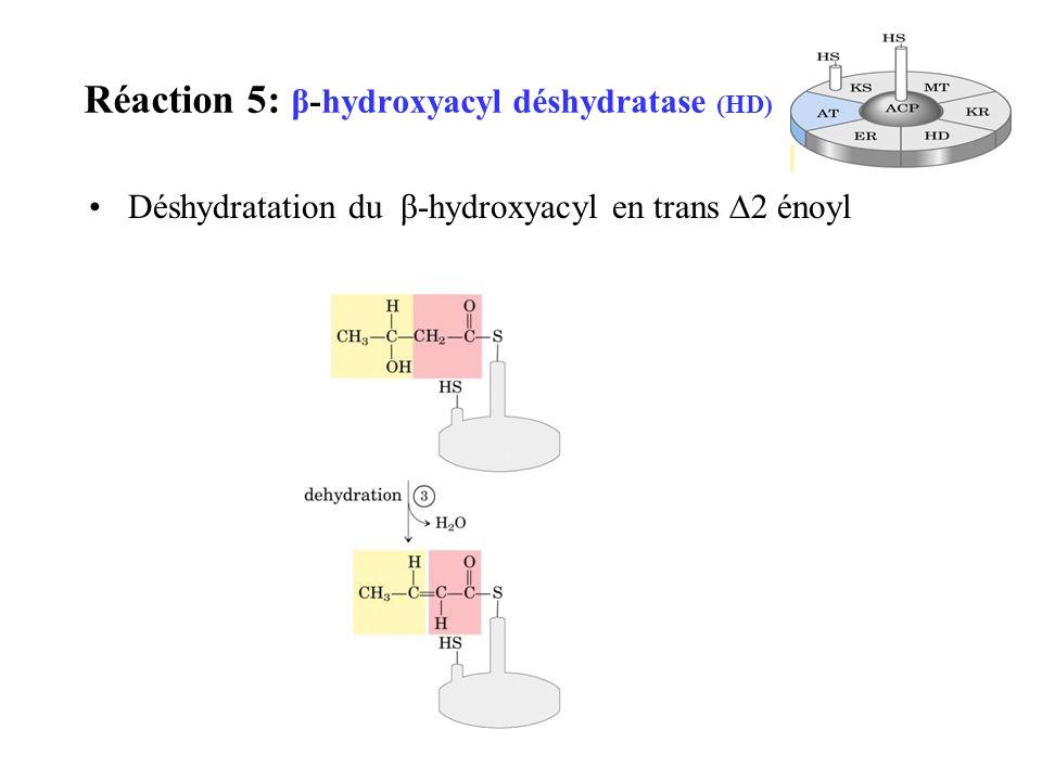 Réaction 5: β-hydroxyacyl déshydratase (HD)