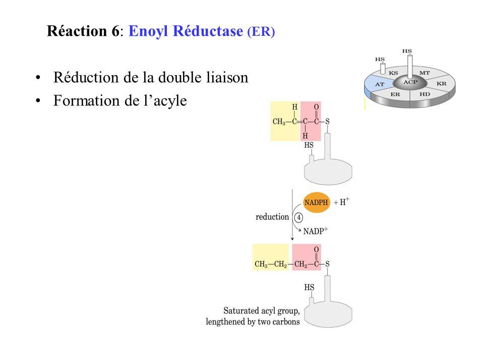 Réaction 6: Enoyl Réductase (ER)