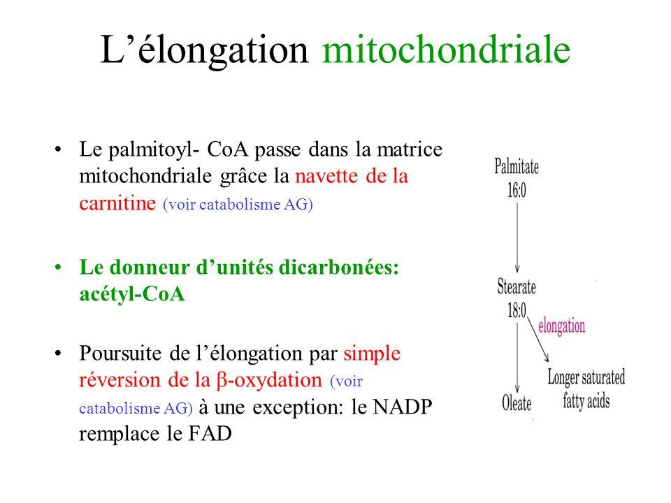 L'élongation mitochondriale