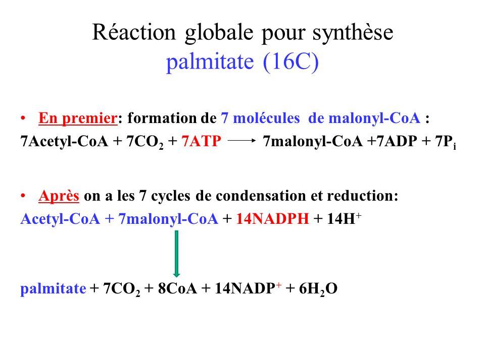 Réaction globale pour synthèse palmitate (16C)