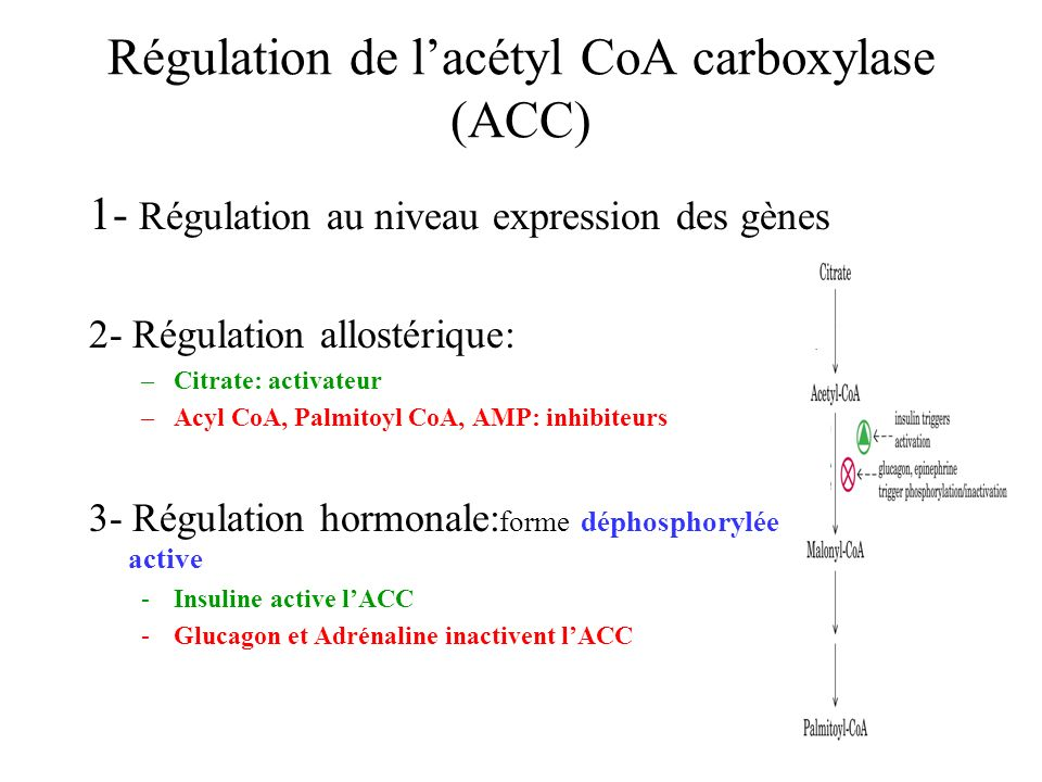 Régulation de l'acétyl CoA carboxylase (ACC)