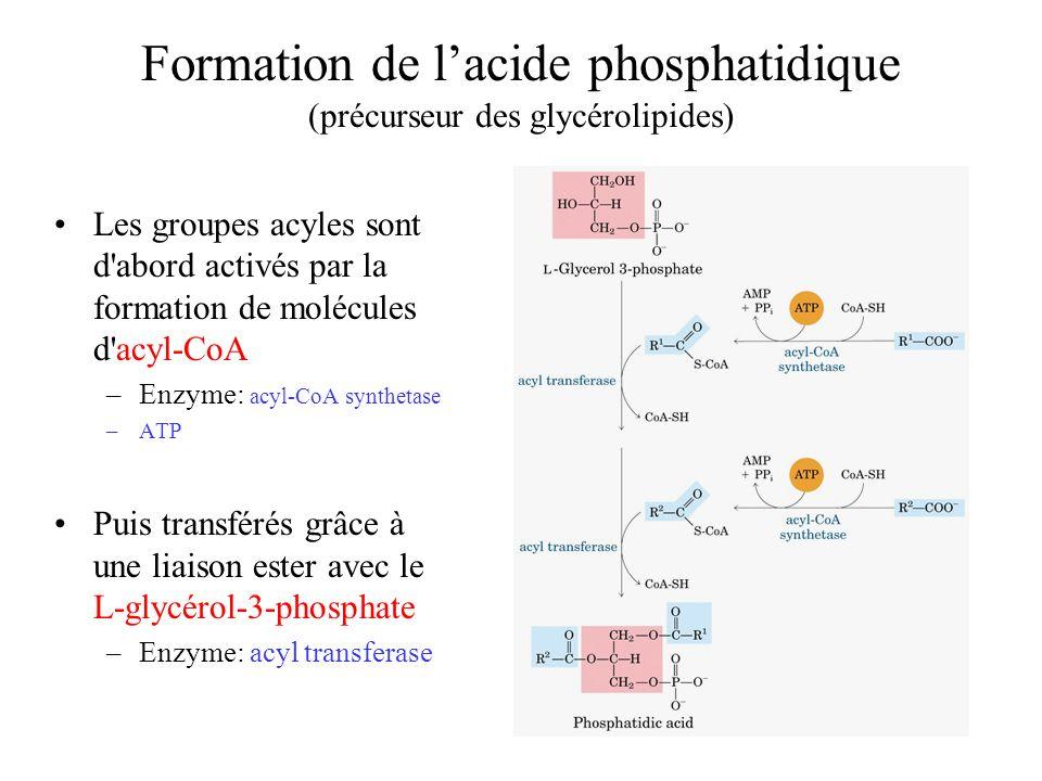 Formation de l'acide phosphatidique (précurseur des glycérolipides)
