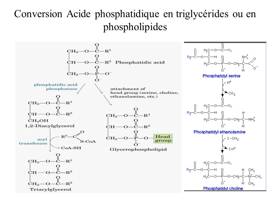 Conversion Acide phosphatidique en triglycérides ou en phospholipides