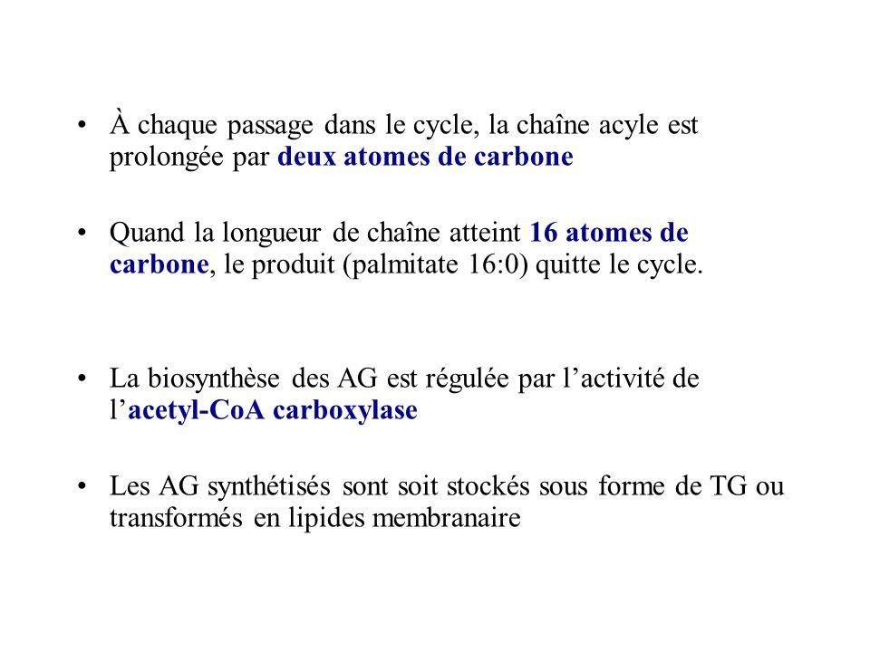 À chaque passage dans le cycle, la chaîne acyle est prolongée par deux atomes de carbone