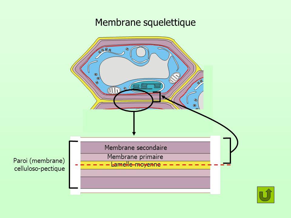 Membrane squelettique